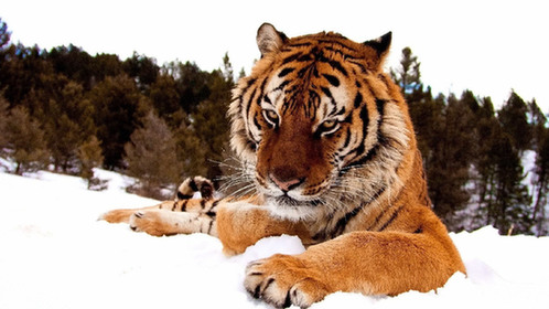 东北虎为什麼会濒临灭绝